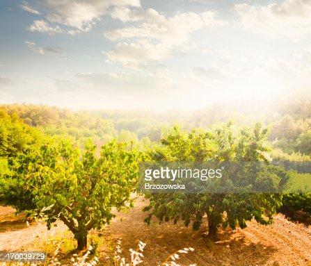 Frutteto di ciliegio