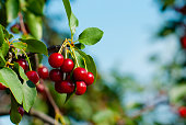 sour cherry fruits hanging on the tree
