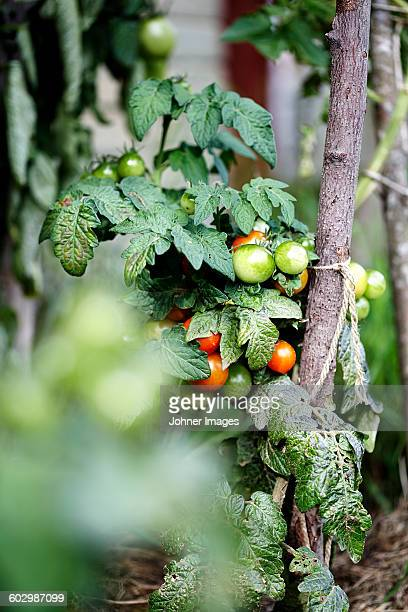 Cherry tomato plant on farm