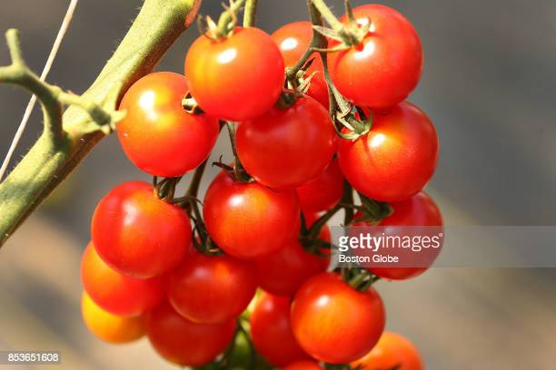 Cherry tomatoes grown at Chatham Bars Inn's farm greenhouse in Brewster MA are pictured on Aug 30 2017 The famous Cape Cod luxury resort now grows...
