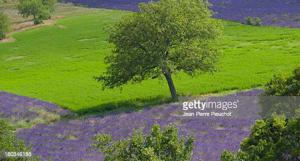 Cherry tree and lavender Provence
