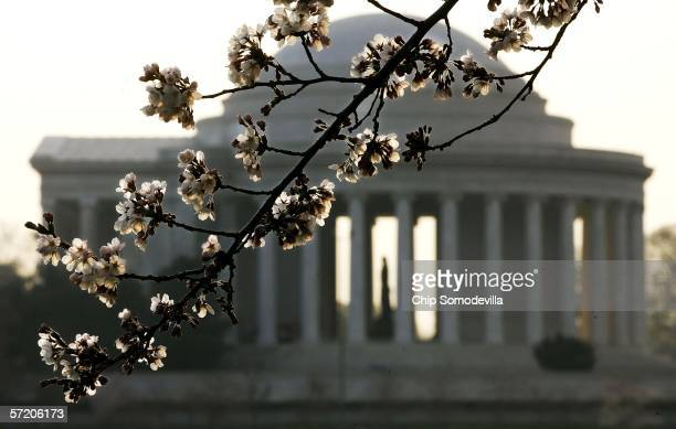 A cherry tree begins to bloom across the Tidal Basin from Jefferson Memorial March 29 2006 in Washington DC The National Park Service has predicted...