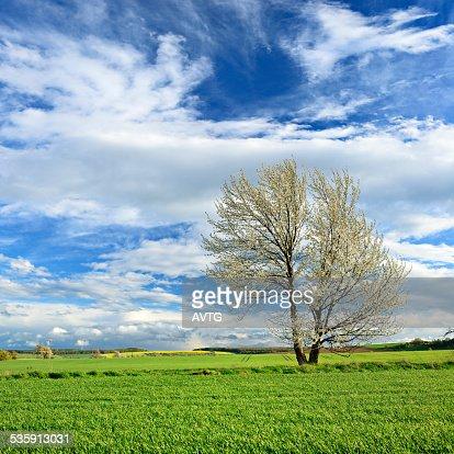 Cerejeira Blossoming na Primavera Paisagem : Foto de stock