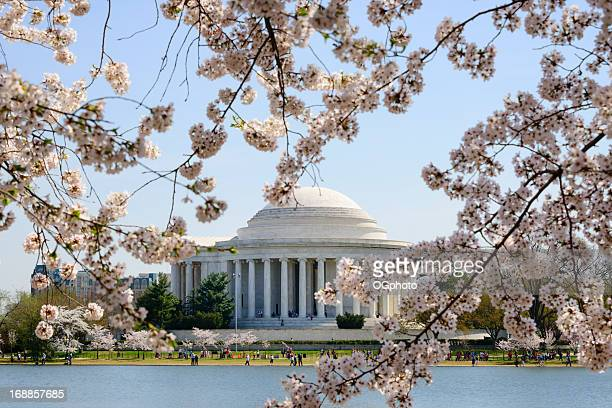Cherry tree blossoms frame the Jefferson Memorial in Washington DC