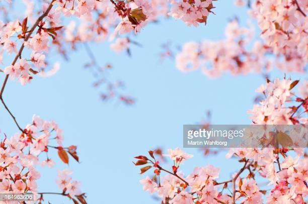 Cherry tree flowers at dawn