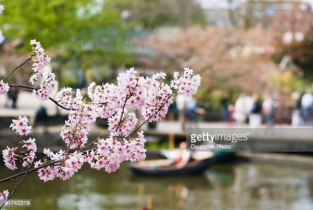 Cherry tree flowers in Tivoli gardens