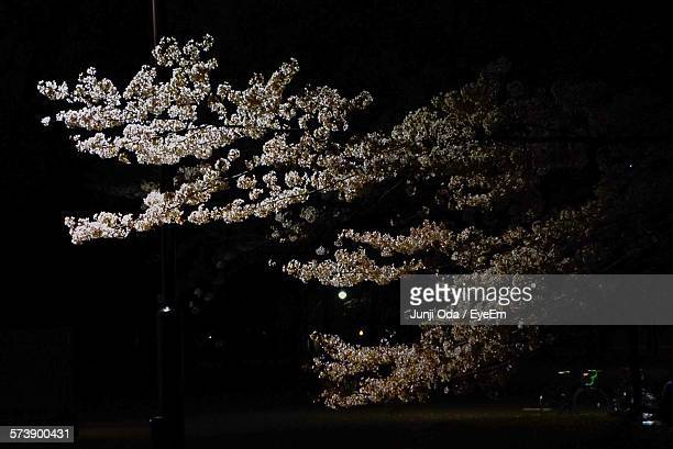 Cherry Tree Growing At Park During Night