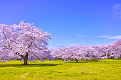 Spring landscape in Japan. Cherry tree blooming in full bloom
