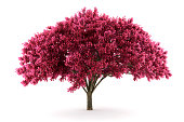 cherry tree isolated on white background with clipping path