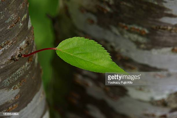 Cherry tree leaf