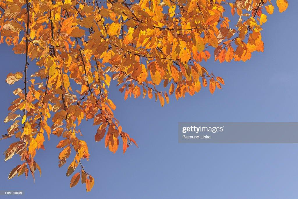 Cherry tree leaves : Stock Photo