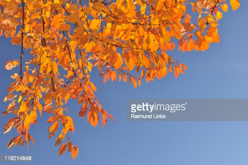 Cherry tree leaves