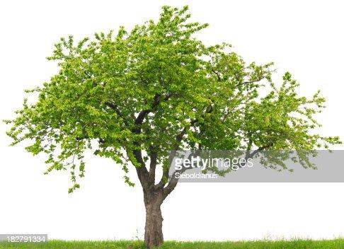 Green Kirschbaum oder Prunus-avium-on grass field