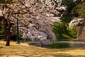 Cherry tree over a lake