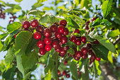 nice coloured cherries. flash used to get nice light spots on the berries