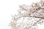 日本の桜、ソメイヨシノです。白い背景で撮影しています。