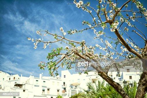 Cherry tree with white blossom : Stock Photo