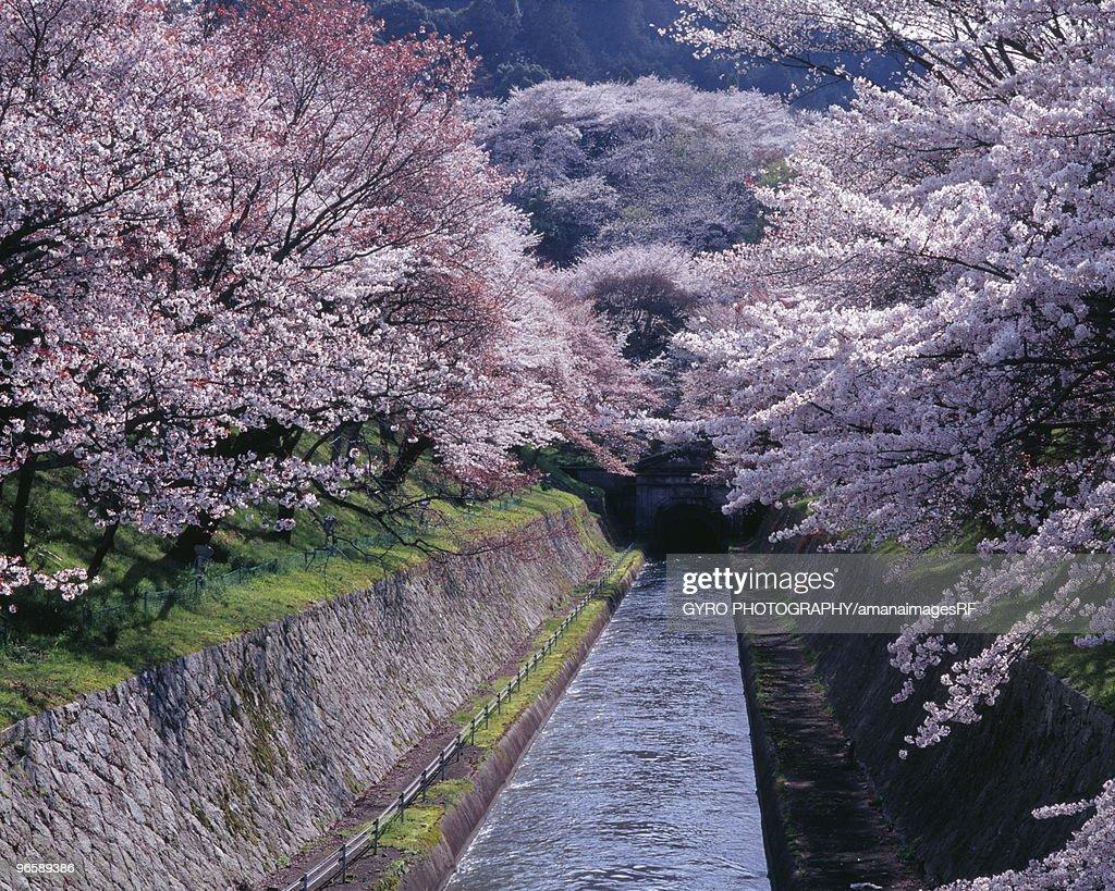 Cherry trees along Lake Biwa,  Shiga Prefecture,  Japan