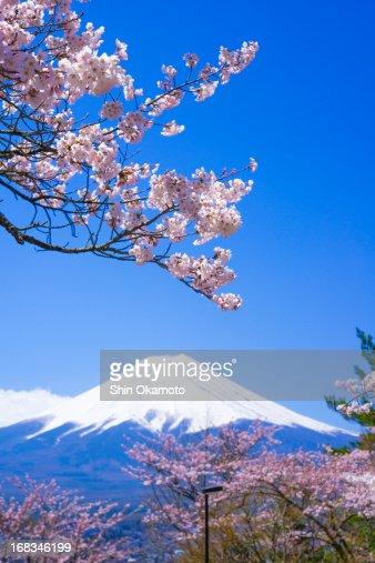 Cherry trees and Mt.Fuji