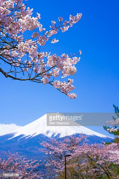 Cherry trees and Mt.Fuji
