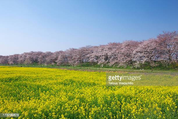Cherry trees and rapeseed field, Saitama Prefecture