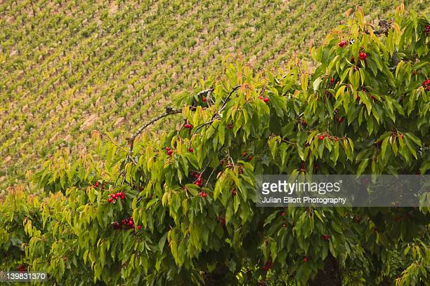 Cherry trees and vineyards near to Irancy, France. The village is in the region of Burgundy.