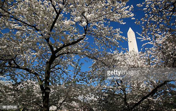 Cherry trees are in their full bloom near the Washington Monument April 1 2010 in Washington DC The National Cherry Blossom Festival a celebration to...