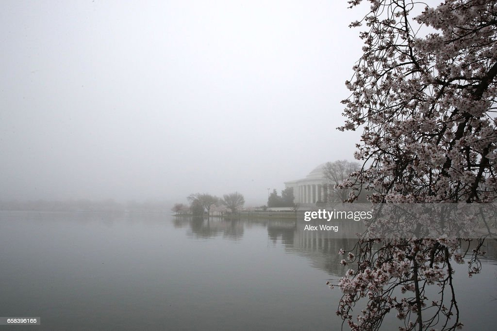Washington DC's famed cherry blossoms In bloom