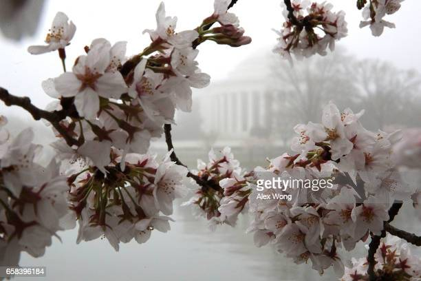 Cherry trees around Tidal Basin are in peak bloom as the Jefferson Memorial is seen in dense fog March 27 2017 in Washington DC The blossoms survived...