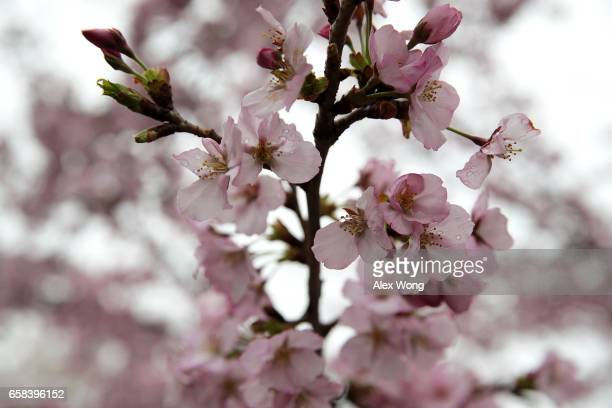 Cherry trees around Tidal Basin are in peak bloom March 27 2017 in Washington DC The blossoms survived after a late winter ice and snowstorm freezed...
