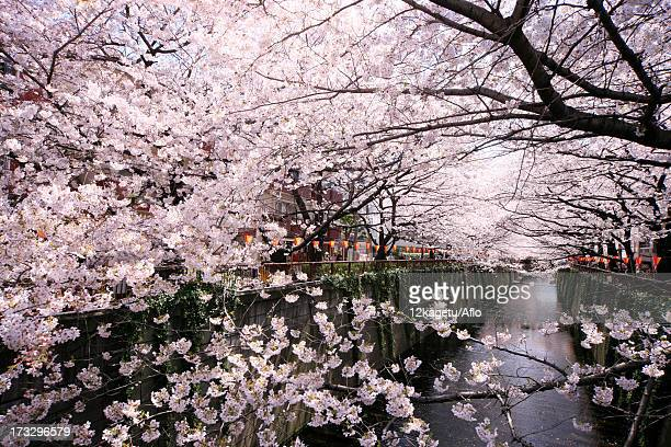 Cherry trees at Meguro River