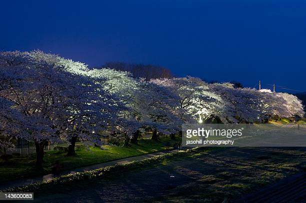 Cherry trees at night