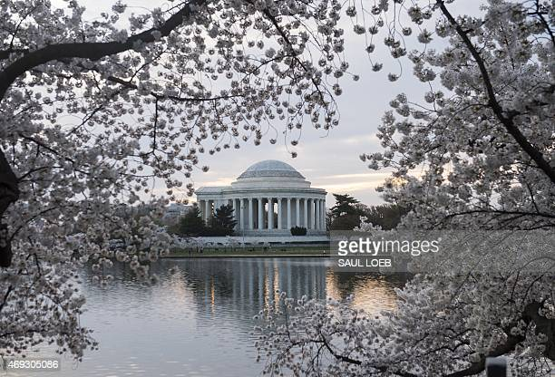 Cherry trees blossom around the Tidal Basin at sunrise near the Jefferson Memorial on the National Mall in Washington DC April 11 2015 The cherry...