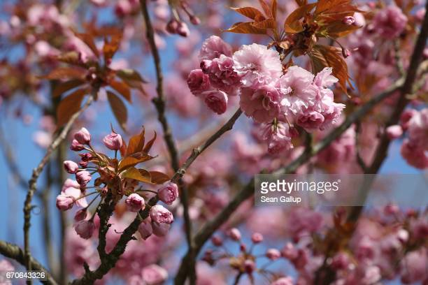 Cherry trees blossom on April 20 2017 in Berlin Germany Farmers are concerned that a recent cold snap that brought snow flurries to Germany including...