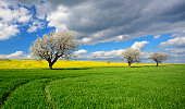 Cherry Trees Blossoming on dirt road in Spring Landscape, field of Canola behind, dramatic stormy  blue sky above