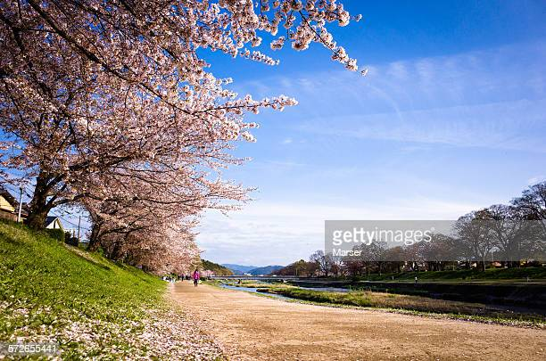 Cherry trees by Kamo gawa river