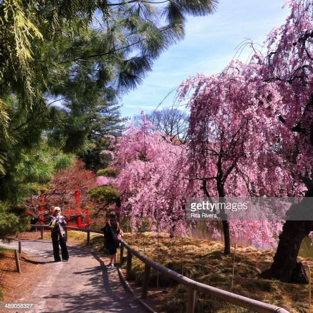 Cherry trees in Brooklyn Botanic Garden