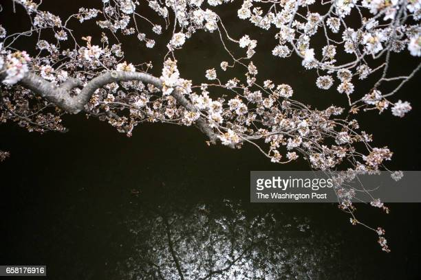 Cherry trees in full bloom are reflected in the tidal basin at night in Washington on March 25 2017