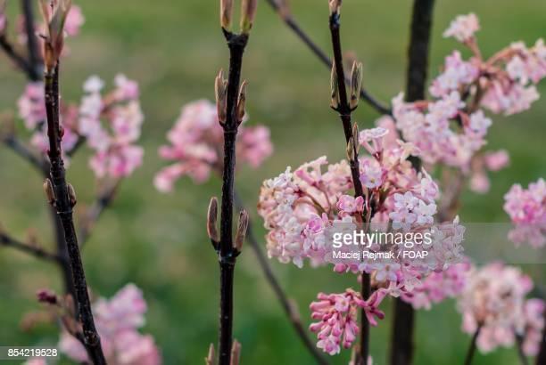 Cherrys tree in bloom