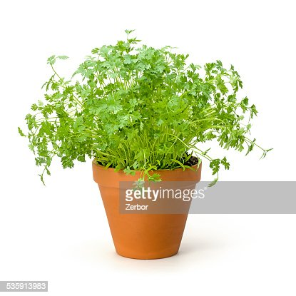 Chervil in a clay pot : Stock Photo