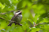Chesnut-Backed Chickadee Perched on Branch Singing Chirping Mating Call