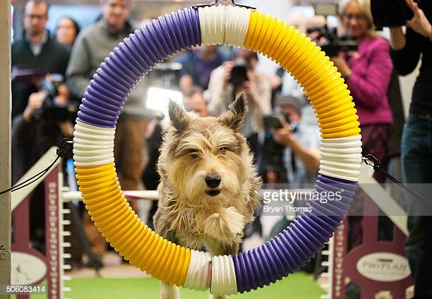 Chester a Berger Picard performs agility drills following the announcement that the Westminster Dog Show would introduce seven new dog breeds into...