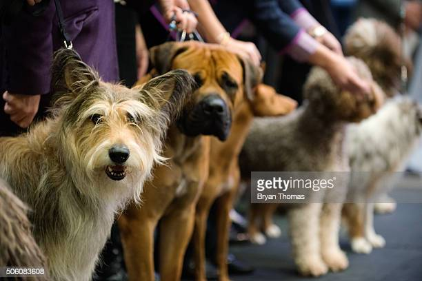 Chester a Berger Picard sits following the announcement that the Westminster Dog Show would introduce seven new dog breeds into the annual...