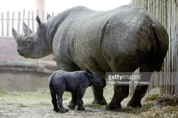 Chester Zoo's new baby black rhinoceros with its mother Kitani inside their enclosure at the zoo