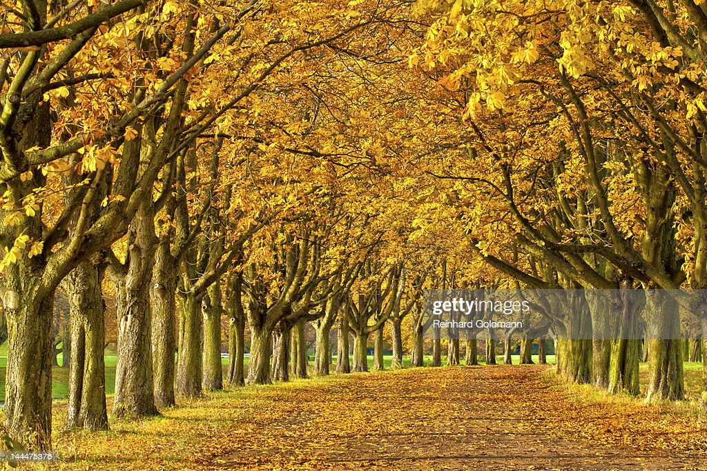 Chestnut alley : Stock Photo