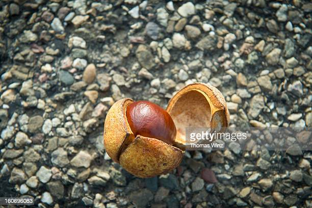 Chestnut and shell on a street