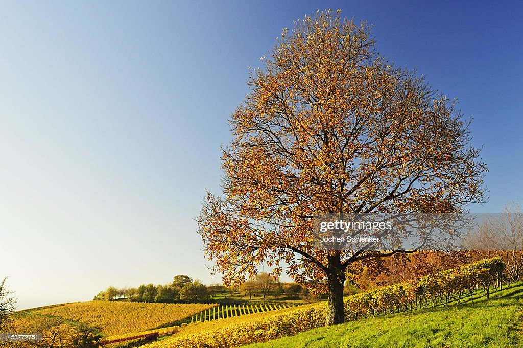 Chestnut and vineyard landscape