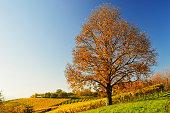 Chestnut and vineyard landscape