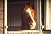 Chestnut Anglo Arab looking out of stable