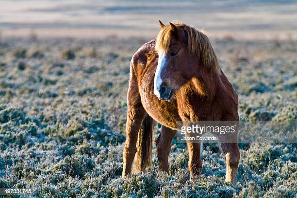 A chestnut Bhotia Pony standing in a high altitude wetland floodplain on a cold morning.